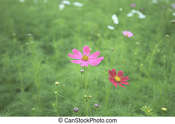 colorful cosmos flower blooming in natural green blur field
