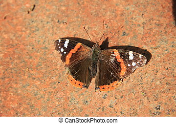 An admiral butterfly, Vanessa Atalanta, on a pink marble...