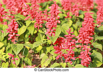 Red salvia blooming in the garden. - Red salvia blooming in...