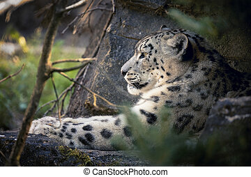 Adult snow leopard resting in the undergrowth - An adult...