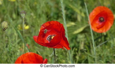 Bee Flying and Pollinating Poppy Flower. - Bee Flying and...