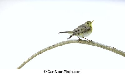 Willow Warbler (Phylloscopus trochilus) isolated on a white...