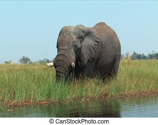 Elephants Okavango Delta, Botswana - Elephants in the...