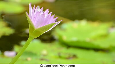 pink water lily - Beautiful pink water lily closeup