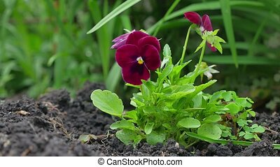Close up of two red pansy flowers nature