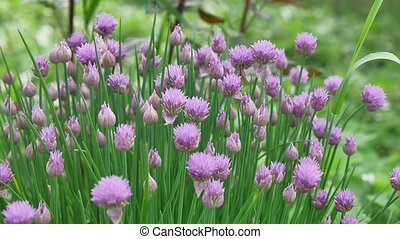 "Purple ""Chives"" flower (or Wild Chives, Flowering Onion,..."