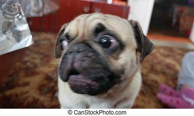 Pug angry dog barking growls pet funny - Pug angry dog...