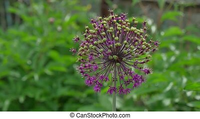 giant leek, Allium giganteum Leek, Flower a nature