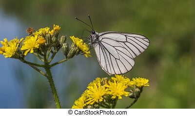 Butterfly - White butterfly on a yellow flower