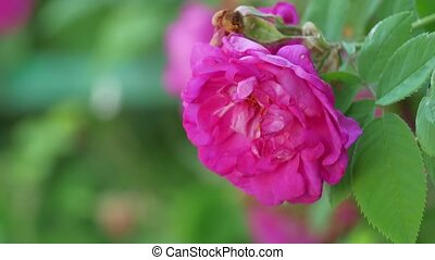 Flower of dog-rose Rosa canina growing in nature - Flower of...