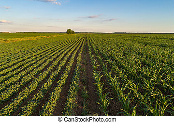 Landscape of soybean and corn field in plains - Beautiful...