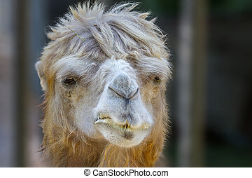 animal head of a camel that chews - Image of an animal head...