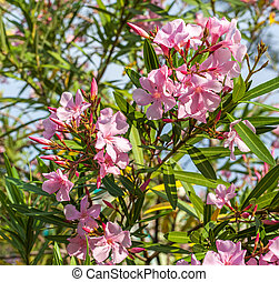 Beautiful pink nerium oleander flowers on bright summer day.