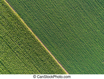 Top view of green diagonal rows of crops in field - Green...