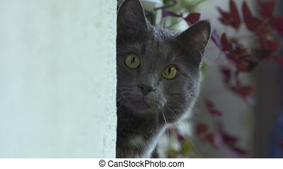 Young gray cat on window sill stares at the camera. Closeup of a cat head.