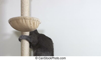 Gray house cat climbs to his hammock bed at top of tall...