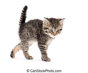 Cute tabby kitten on white - Cute baby tabby kitten arching...