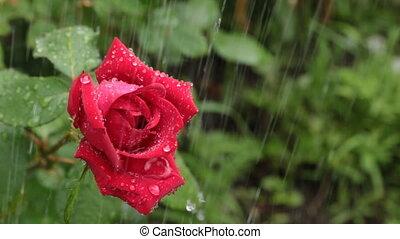 Red rose. Rain falling on rose.
