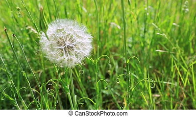 Spring flowers dandelions in green grass. - Dandelion on the...