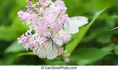 white butterfly sits on blooming lilac. cabbage butterfly