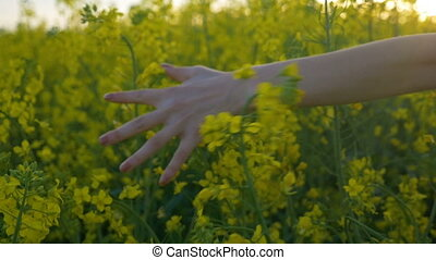 Slow motion of woman hand touching rapeseed flowers walking through countryside field in the summer afternoon