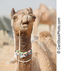 Camel at the fair. Close up of muzzle. India, Pushkar -...