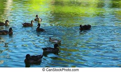 Animal Bird Duck in Lake