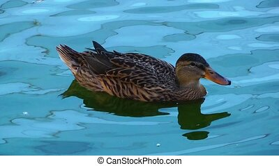 Animal Bird Duck in Lake