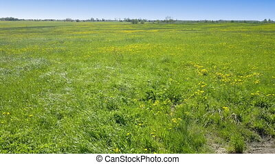 Aero look in field of blossoming yellow dandelions in sunny...