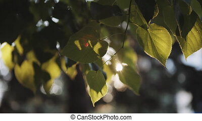Sun's rays breaking through the leaves of the tree fall into...