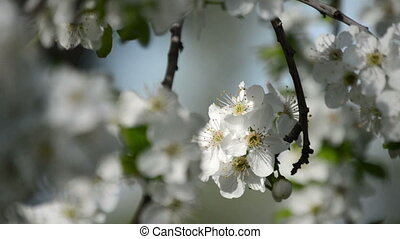 cherry flowers blooming in springtime swining in the wind.