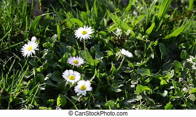 Summer field with white daisies -close up