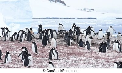 Gentoo Penguins on the nest in Antarctica