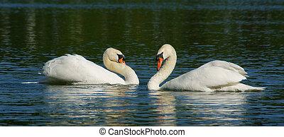 Schwanensee - Swans - Zwei anmutige Schw?ne bei ihrem...
