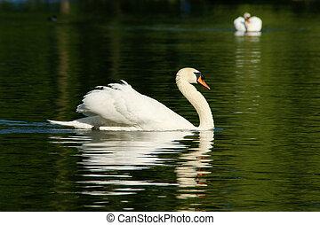 Schwan - Swan - Ein anmutiger Schwan auf einem klaren See. A...