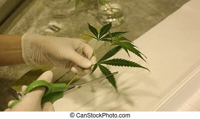 Woman research scientist medical cannabis for medicinal...