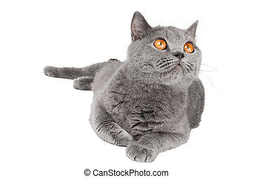 British Shorthair cat isolated - British shorthair grey cat...