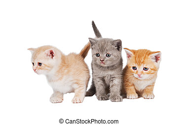 little british shorthair kittens cat - Three sitting lying...
