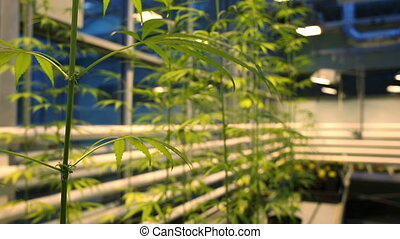 Research science medical cannabis for medicinal purposes,...