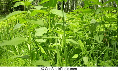 Green leaves of nettle in city park. Grass and herbs in countryside. Flora in spring. Shoot on slider