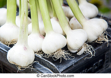Fresh Green Garlic - Fresh Food Market - Catania, Italy
