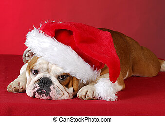 christmas puppy - english bulldog wearing santa hat on red...