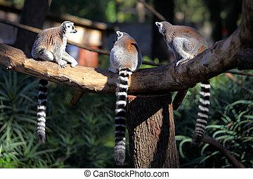 adult lemurs katta (Lemur catta) - Tailed lemurs (Lemur...