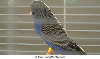 Blue budgerigar in the cage, close up