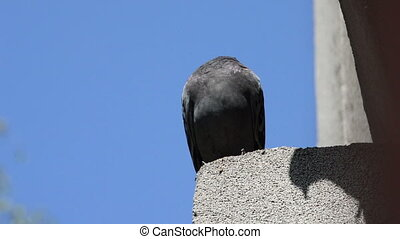 Beautiful pigeon standing in line on the edge of house roof,...