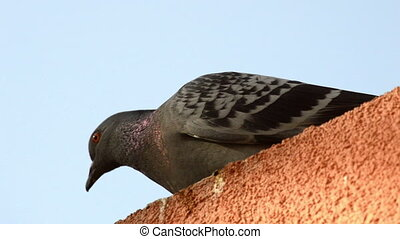 Beautiful pigeon standing in line on the edge of house...