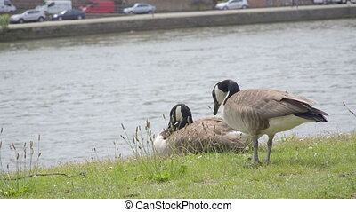 Geese grazing on the grass