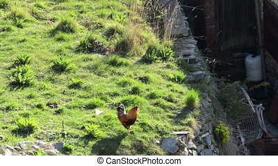 roosters and chickens walking around in old style organic...