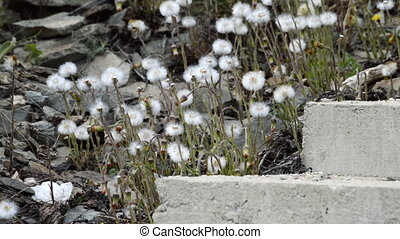 Dandelion seeds blown in the wind and concrete stair in the...