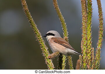Red-backed shrike closeup - Red-backed shrike (Lanius...